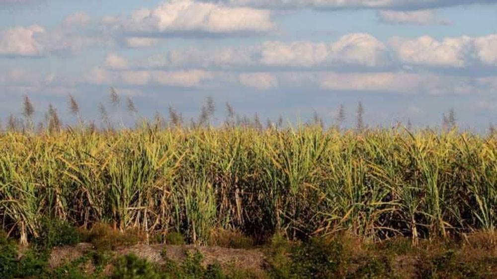 يحقق الاكتفاء الذاتي.. مشروع لإنتاج السكر بمصر بمليار دولار