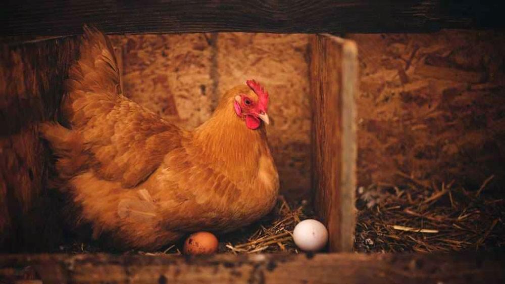 البيضة أولا أم الدجاجة؟.. العلماء يجيبون أخيرا