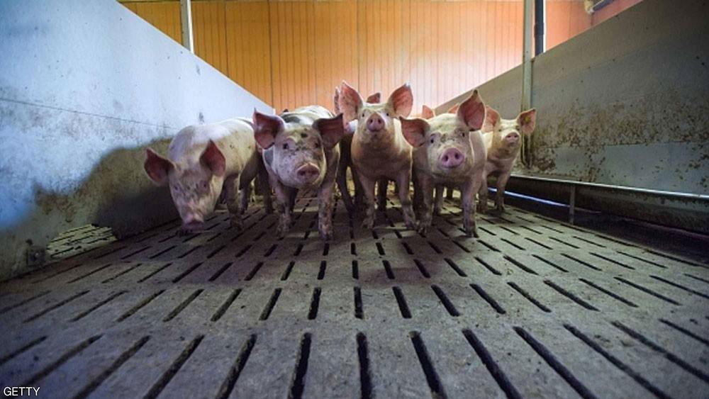 """حمى الخنازير تجتاح اليابان.. والسلطات تلجأ إلى """"الإعدامات"""""""