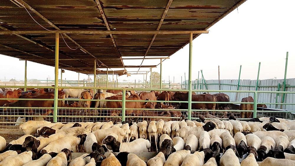 """""""الثروة الحيوانية"""": كميات اللحوم كافية لعيد الأضحى"""